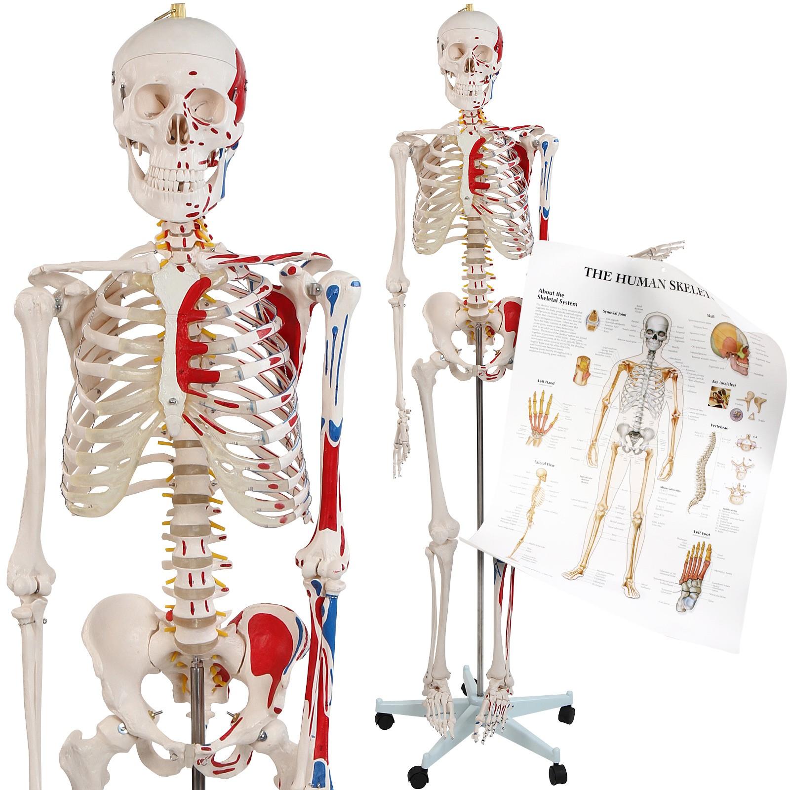 Menschliches Skelett Lebensgroß Anatomie Lehrmodell Muskeln inkl ...
